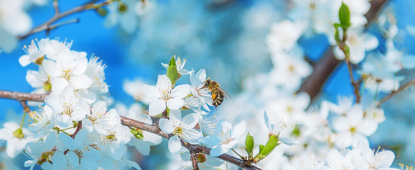 Papiers peints Bee Honey bee flying to the White blooming flowers