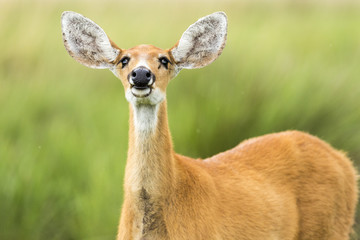 Female Marsh Deer (Blastocerus dichotomus)