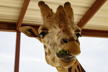 Giraffe Eating Lettuce