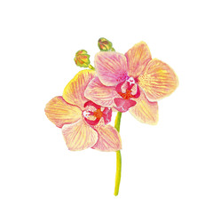 Orchid isolated on white background, beautiful flower. Basis for Design