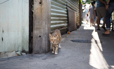 Brown cat on street  looking on camera, dirty alley in thailand background.