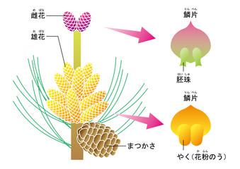 裸子植物 松 図