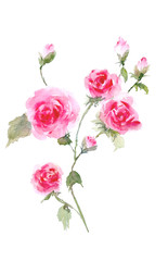 Branch of roses. Watercolor roses illustration.