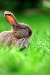 Fototapete - Little rabbit in grass