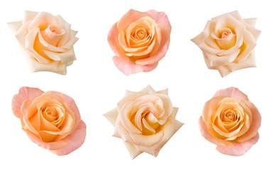 Cream rose isolated on white background set