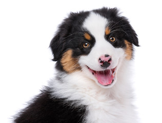 Australian Shepherd purebred puppy, 2 months old looking at camera - close-up portrait. Black Tri color Aussie dog, isolated on white background.