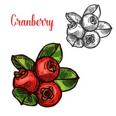 Cranberry vector sketch fruit berry icon