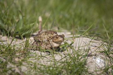 two frogs during the spring festivities among the green grass