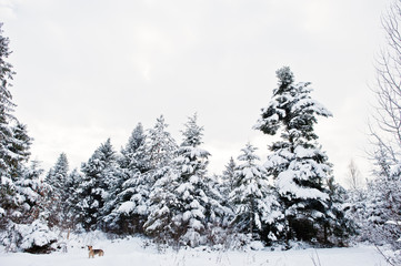 Pine trees covered by snow and lonely dog. Beautiful winter landscapes. Frost nature.