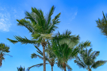 Tropical green palms against the blue sky