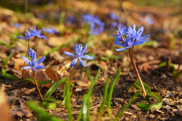 scilla bifolia flower