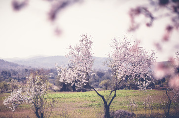 Flowering almond trees in the mountains, beautiful spring landscape, image with retro toning