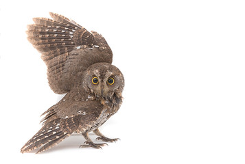 Oriental scops-owl isolate on white background