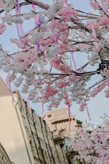 Sky And Cherry Blossoms on the street