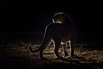 A horizontal, back lit, colour image of a leopard, Panthera pardus, in the Greater Kruger Transfrontier park, South Africa.