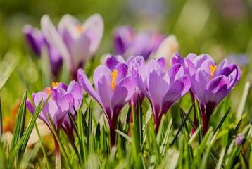 crocus, fleur,printemps,violet,pistil,nature,renouveau,