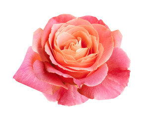 coral pink rose isolated on white background