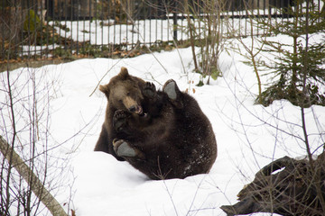 Brown bear siblings playing on the snow. Bavarian Forest National Park.