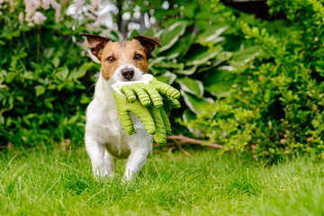 Dog carrying gardening gloves running on green grass lawn at garden