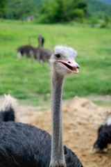 Close up head and neck of an ostrich (Struthio camelus)