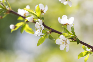 blossoming cherry plum sunny spring colorful background
