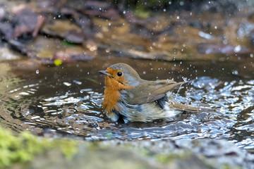 European robin (Erithacus rubecula) taking bath in puddle, profile. Bird washing with striking orange breast, in Bath Botanical Gardens