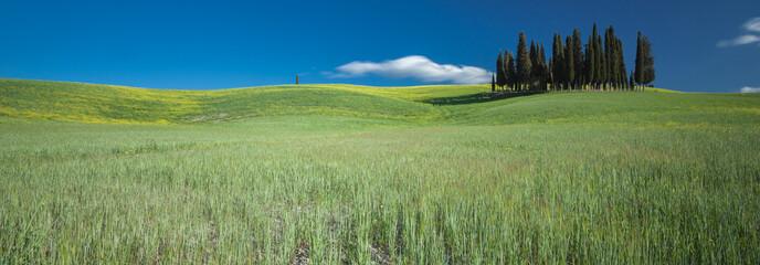 Foto auf Leinwand Olivgrun Cipressi di San Quirico d'Orcia Toscana Italia