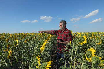Farmer or agronomist examining sunflower plant in field and pointing with tablet in other hand