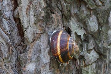 Close-up of a sleeping grape snail Helix pomatia on the bark of pine alpine Pinus mugo