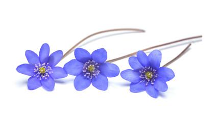 liverleaf flower, hepatica nobilis