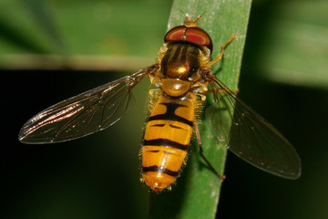 Macro view from above of a Caucasian fluffy striped floral fly hoverfly with open wings