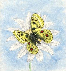 Illustration of watercolor butterfly Apollo. Hand drawn butterfly Parnassius apollo