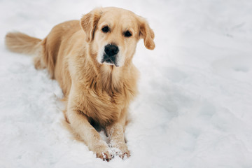 Photo of labrador sitting on snow at winter walk