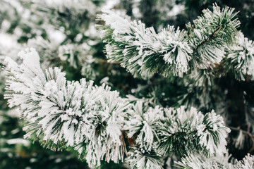 Image of fir branches with snow