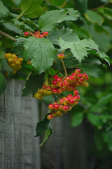 The picture shows the autumn a branch of the hawthorn . Red, orange hawthorn berries on the background of the fence.