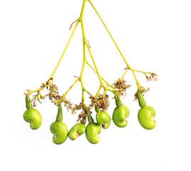 Cashew Nut Apple and Fresh Cashew Nut on white background