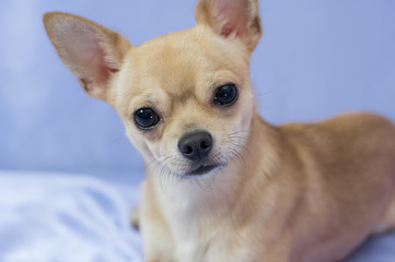 Studio portrait of creamy curious Chihuahua puppy against blue background