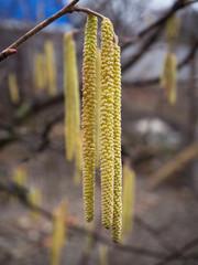 Flowering hazelnut tree