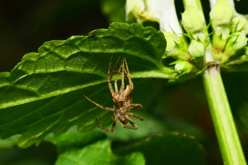 Close-up side view of a faded brown spider-wolf Arachnida sitting under a green leaf in the foothills of the Caucasus