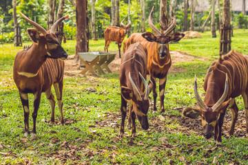 Beautiful animal - big eastern bongo antelope, extremely rare animal Wall mural