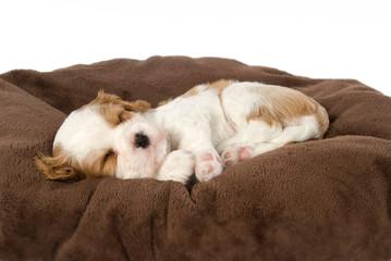 Schlafender Cavalier King Charles Spaniel Welpe liegt auf einer Decke