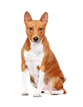 Basenji dog in a sitting pose looking into the camera