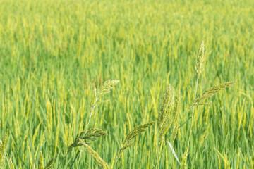 Scene rice paddies, rice field in summer march, Thailand