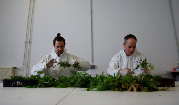 Employees cut cannabis buds in a laboratory at the headquarters of AGES in Vienna