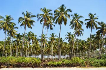 Green palm trees against the blue sky. Goa