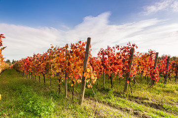 Landscape with red leaves autumn vineyards.