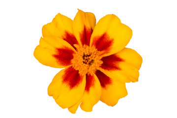 Tagetes flowers on a white background