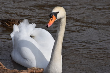Closeup of a wonderful white swan swimming in a river in Kassel, Germany