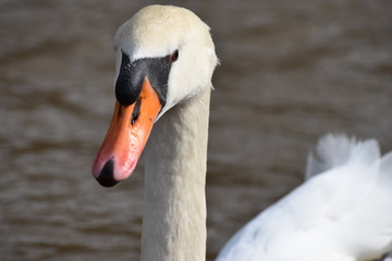 Closeup of a wonderful white swan on a river in Kassel, Germany