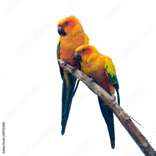 Two Sun Conure parrakeets isolated